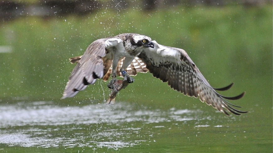 Meeting of a Select Group of Experts on the European Action Plan for the recovery and reintroduction of the Osprey