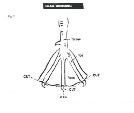 Diagram Of Duck Feet - DIY Enthusiasts Wiring Diagrams •